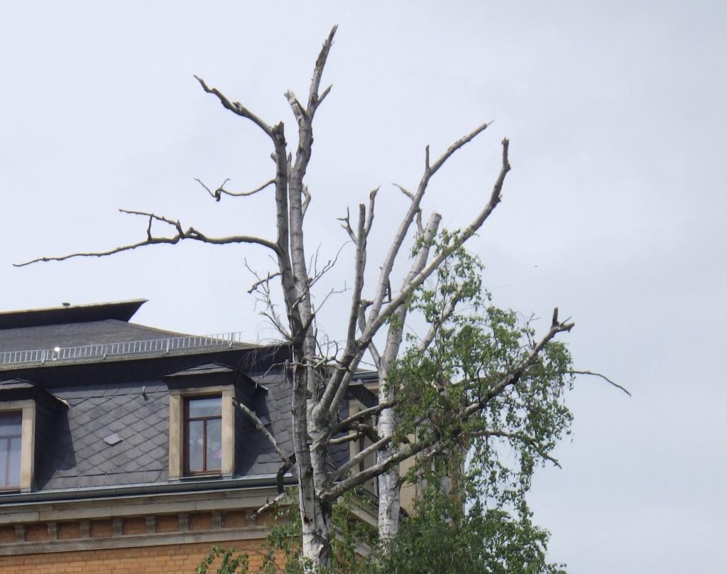 Kahle Birken Dresden Juni 2016